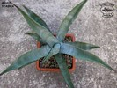 Agave scabra II