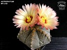 Astrophytum MY x AS