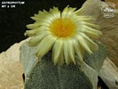 Astrophytum MY x OR