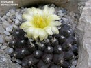 Copiapoa borrguitensis