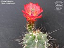 Echinocereus triglochidiatus