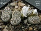 Lithops julii C 183